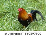 Photo Of A Rooster In The Grass