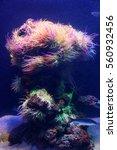 Small photo of Amazing marine animals closeup in aquarium (anemonia, actinia, anemone)