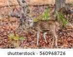 Chital Or Cheetal Deer  Axis...