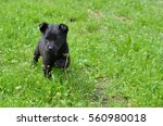Stock photo black puppy playing in the meadow 560980018