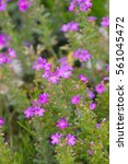 Small photo of Fairy, Alpine balsam, Jewel flower, Liver balsam 'Dr Haehnle' (Erinus alpinus)
