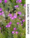 Small photo of Fairy, Alpine balsam, Jewel flower, Liver balsam 'Dr Haehnle' (Erinus alpinus) rock garden perennial