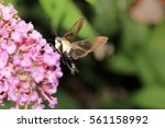 Snowberry Clearwing Hummingbir...
