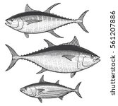 tuna illustrations    blue fin  ... | Shutterstock .eps vector #561207886