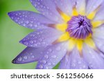 water drop on waterlily petal | Shutterstock . vector #561256066