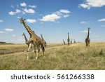 Large Group Of Giraffes In...