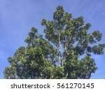 swietenia macrophylla king ... | Shutterstock . vector #561270145