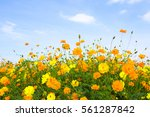 Yellow Cosmos Flowers With Blu...