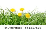 gree grass isolated with... | Shutterstock . vector #561317698