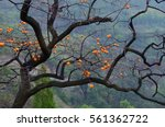 Persimmon Tree In Autumn