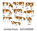 ayrshire red and white patched... | Shutterstock .eps vector #561438388