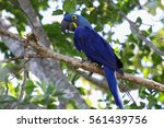 hyacinth macaw sitting on a... | Shutterstock . vector #561439756