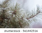 Frosted Fir Tree Defocused...