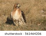 Red Tailed Hawk Standing In Th...