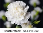 White Carnation Head With...