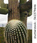 close view of a large saguaro... | Shutterstock . vector #561579646