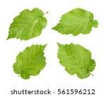 hazelnut leaves  corylus...   Shutterstock . vector #561596212