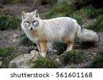 Stare Of Corsac Fox  Vulpes...