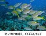 swarm pisces | Shutterstock . vector #561627586