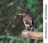 Small photo of Common Myna bird (Acridotheres tristis) perching a branch