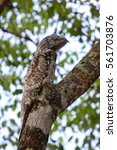 rare great potoo hardly to... | Shutterstock . vector #561703876