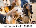 basset hounds begging for food | Shutterstock . vector #561739012