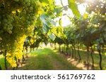grape harvest  | Shutterstock . vector #561769762