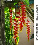 heliconia tropical flower in... | Shutterstock . vector #561880396