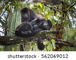 Small photo of Couple of Black Howler Monkeys (Alouatta pigra) at Belize Zoo