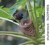 Red Vented Bulbul's Nest With...