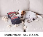 pampering dog. naughty puppy.... | Shutterstock . vector #562116526