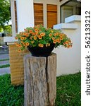 Petunia Petun  Solanaceae...