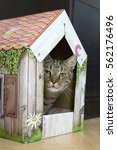 Small photo of Male marble cat with clever stern and serious expression on his face, eye contact, hidden in his color romantic cardboard house, lime eyes