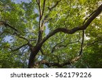 Small photo of looking perspective to the top of the Albizia lebbeck tree