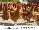 Red Chickens On A Farm In...