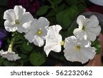 White Petunias In Pots On The...