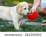 Labrador Puppy Drinking Water...