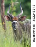 Small photo of Male Nyala antelope (Tragelaphus angasii) smiling through very tall grass and flowers
