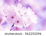 cherry tree flowers blossoms in ... | Shutterstock . vector #562253296