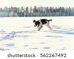 The Young Springer Spaniel Run...