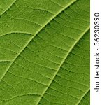 back of kiwi leaf  close up... | Shutterstock . vector #56230390
