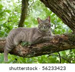 Spotted Blue Tabby Cat On Tree...