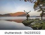 beautiful red deer stag looks... | Shutterstock . vector #562335322