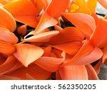 bustard teak | Shutterstock . vector #562350205