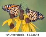 Two Monarchs Are Perched On...