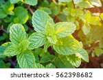 fresh mints leaves in the garden | Shutterstock . vector #562398682