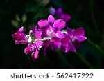 Close Up Purple Orchid Flower...