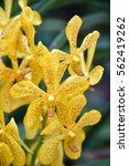 Small photo of Yellow Vanda, orchid