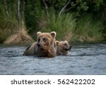 Small photo of An Alaskan brown bear cub shakes while standing in the water of Brooks River next to its mother in Katmai National Park, Alaska