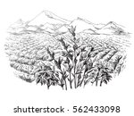 coffee plantation landscape in... | Shutterstock .eps vector #562433098